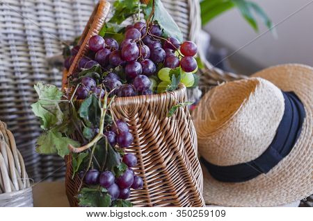 Grapes In A Basket . In A Country House. Collection Of Selected Grapes For Homemade Wine. Ecological