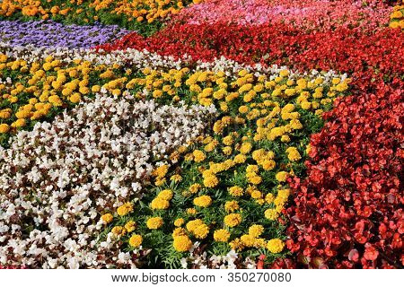 Carpet of low growing bedding plants