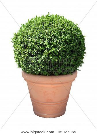 Box in Terracotta pot