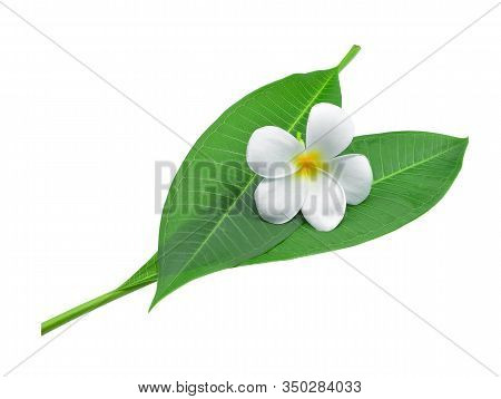 White Plumeria, Frangipani Or Plumeria , Tropical Flowers With Green Leaves Isolated On White Backgr