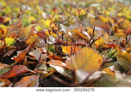 Brown, Orange And Yellow Leaves In The Sunlight On A Hedge Of Beech In The Netherlands