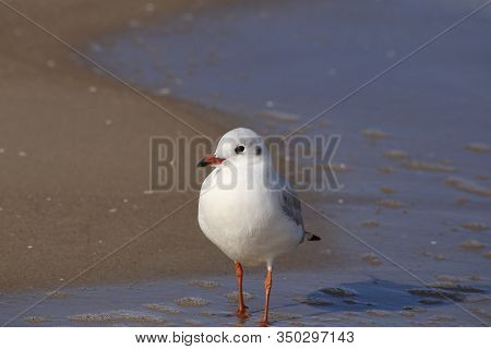 Seagull Walking In The Tide On The Beach In The Morning.