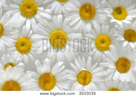 Daisy background image very close with light from side poster