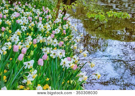 Narcissus And Tulips On The Bank Of The River
