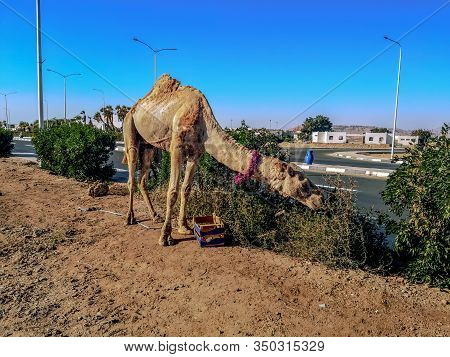 Dromedary Eats Weeds On The Side Of An Asphalt Road Against The Background Of Buildings In Sharm El