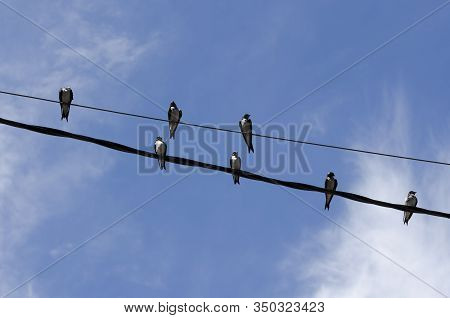 Group Of Swallows, Brown-chested Martin, Progne Tapera, Perched On A Pair Of Electrical Wires, A Sun