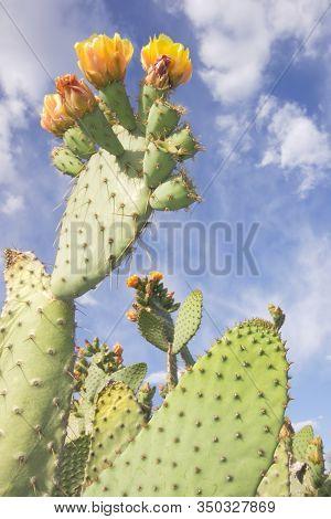 Prickly Pear In Bloom Cactus In Bloom In The Mojave Desert