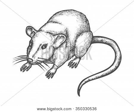 Mouse Or Rat Sketch, Vector Hand Drawn Illustration Of Rodent Animal. House Mouse Or Wild Rat Realis