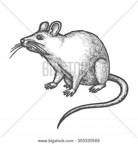 Mouse Vector Sketch, Hand Drawn Illustration Of Funny Rat Rodent Animal. House Mouse Or Wild Rat Wit