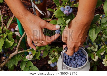 A Container Filled With Fruit. Fruit Harvest At Highbush Blueberry Plantation.