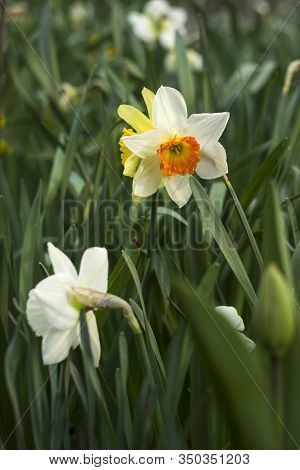 Daffodils Of Different Types Bloom In The Spring In The Garden. Beautiful Flowers - White Daffodils