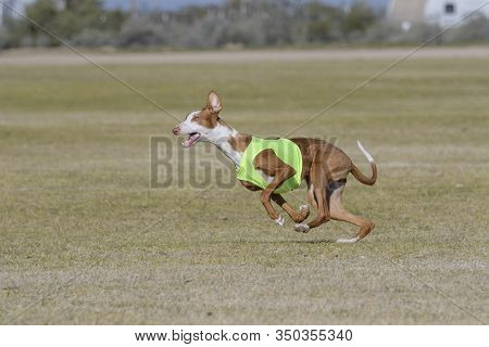 A Lure Coursing Ibizan Hound Is A Fast, Sight Hound Chasing A Lure For Speed