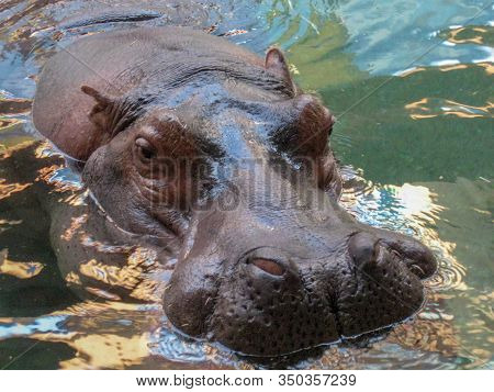 A Hippo Looks Out From The Cool River Water
