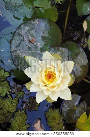Flor O Planta Acuática, Beautiful Aquatic Flower