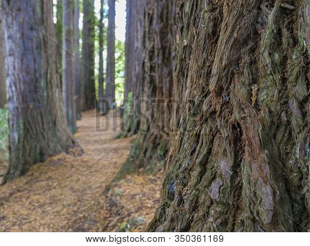 Huge Redwood Trees At  Hamurana Springs, Rotorua, New Zealand, Surrounded By Native Forest
