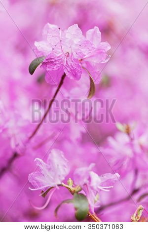 Blooming purple rhododendron at spring