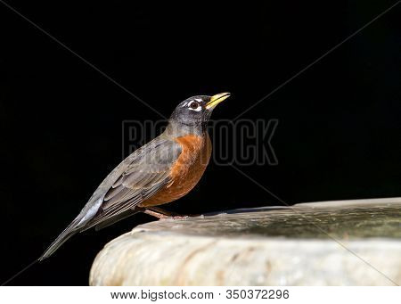 One American Robin Perched On A Bird Bath, Drinking Water. The American Robin (turdus Migratorius) I