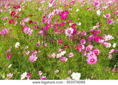 Pink Cosmos Flowers Beautiful In The Field