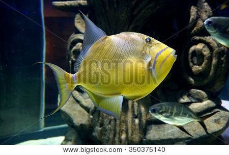 Close Up Of A Yellow Queen Triggerfish