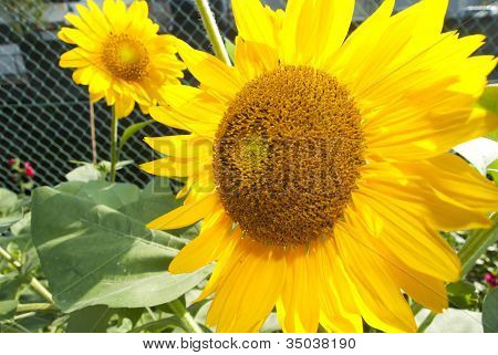 The Close Up Sunflower