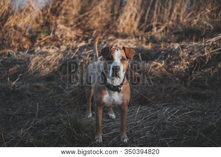 Beautiful Dog Stands Still In Faded Winter Or Autumn Grass. Portrait Of Staffordshire Terrier Mutt L