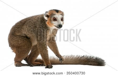 Crowned lemur, Eulemur coronatus, 19 years old, in front of white background