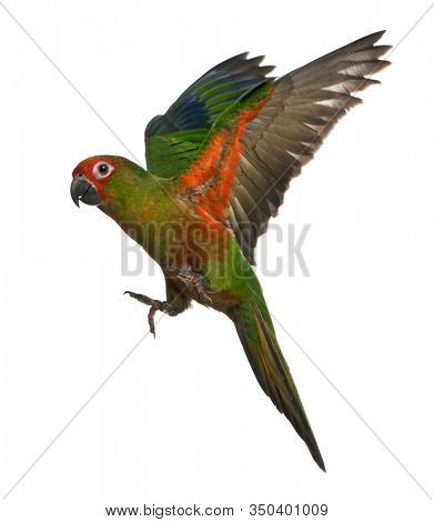 Golden-capped Parakeet, Aratinga auricapilla aurifrons, 6 months old, flying in front of white background