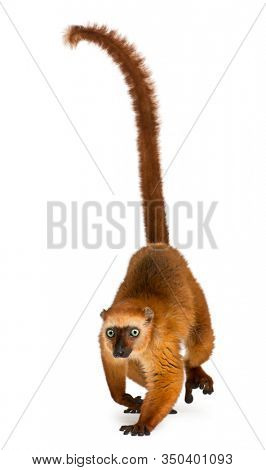 Female blue-eyed black lemur, Eulemur flavifrons, 3 years old, in front of white background