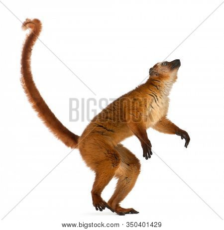Female blue-eyed black lemur, Eulemur flavifrons, 3 years old, standing in front of white background