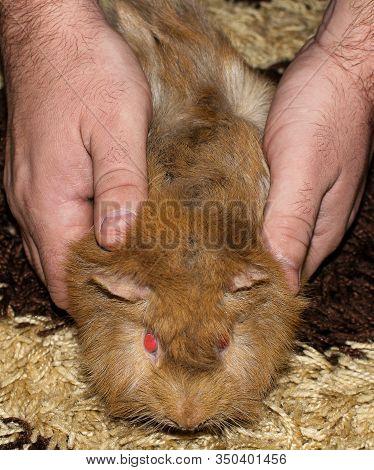 The Guinea Pig Or Domestic Guinea Pig (cavia Porcellus), Also Known As Cavy Or Domesthe Guinea Pig(w