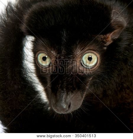 Male blue-eyed black lemur, Eulemur flavifrons, 3 years old, close-up