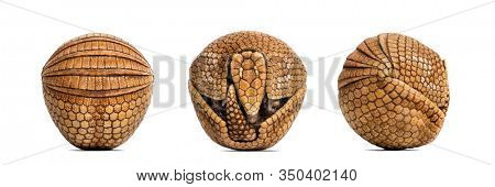 Brazilian three-banded armadillo rolled up, Tolypeutes tricinctus - 4 years old