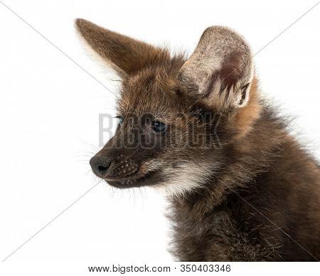 Close-up of a Maned Wolf cub, Chrysocyon brachyurus, isolated on white