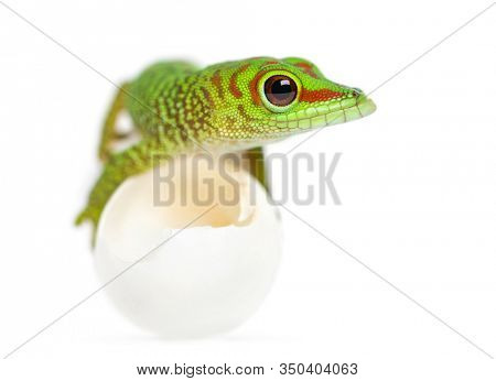 Front view of a Madagascar giant day gecko lying on eggs from wich he hatched out, Phelsuma madagascariensis grandis, isolated on white