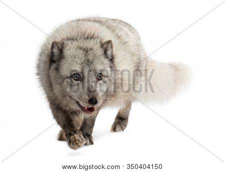 Arctic fox walking, prwoling, Vulpes lagopus, isolated on white