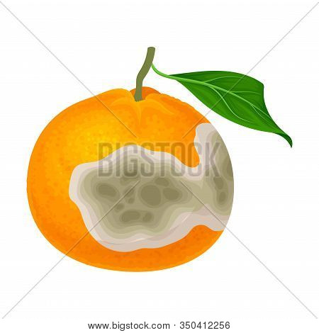 Rotten Orange With Stinky Rot Covered The Skin Vector Illustration