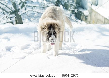 Caucasian Shepherd Puppy In Winter. Cute Caucasian Shepherd Puppy. Caucasian Shepherd Dog Is 4 Month