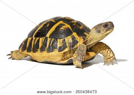 Tortoise And Turtle Hermann Isolated On White Background Studio Lighting