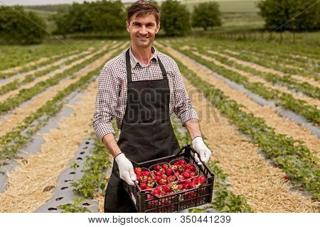 Happy Successful Male Owner Of Strawberry Farm Holding Box Full Of Ripe Red Strawberry And Looking A