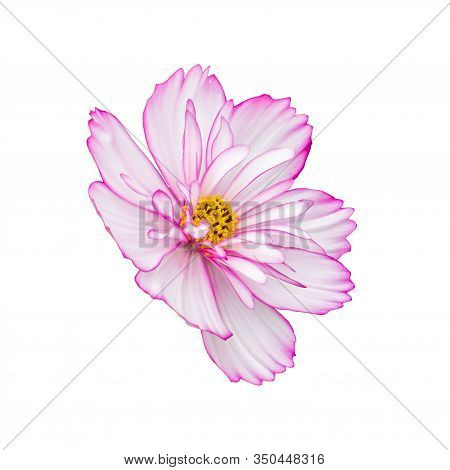 Cosmos Flower Isolated On White Side View. Isolate Of Pink White Tender Terry Flower. Open Flower Bu