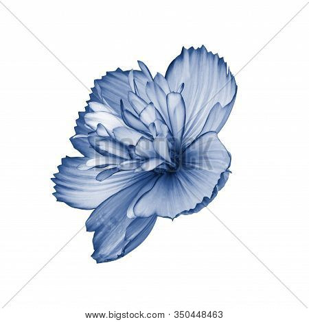 Cosmos Flower Terry Isolated On White Side View. Isolate Of A Single Cosmos Flower Tinted In Classic