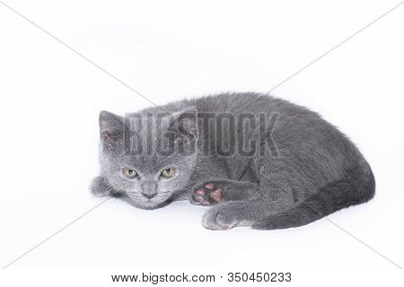 A Grey Kitten Lies On A White Background. Cute Kitten. British Cat. Cover For An Album Or Notebook.