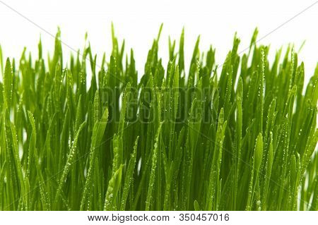 Blades Of Fresh Green Spring Grass With Raindrops Or Dew Drops Glistening On The Leaves Against A Wh