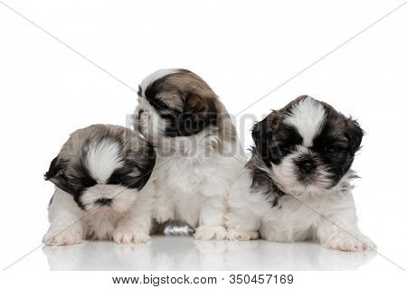 Bothered Shih Tzu cubs looking around and frowning while standing on white studio background