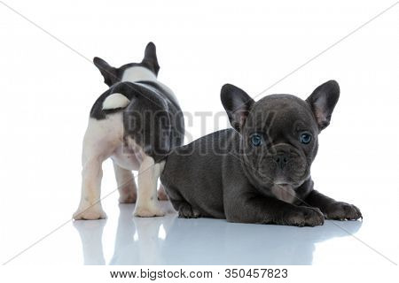 Rear view of an eager French bulldog standing behind his sibling that is looking forward, laying down side by side on white studio background