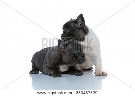 Eager French bulldog cubs looking to the side over each other while laying down and sitting side by side on white studio background