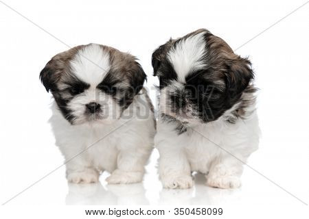Bothered Shih Tzu puppies walking forward and frowning on white studio background