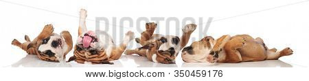 Four clumsy English Bulldogs rolling on their back and panting on white studio background