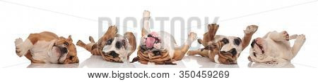 Four clumsy English Bulldogs rolling on back and panting on white studio background