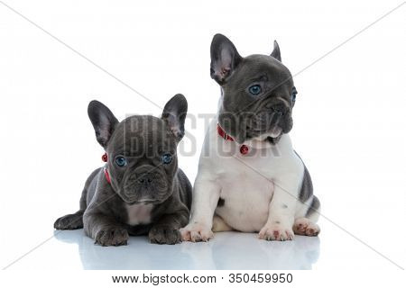 Adorable French bulldog cubs looking to the side and waiting while laying down and sitting side by side on white studio background, wearing red collars
